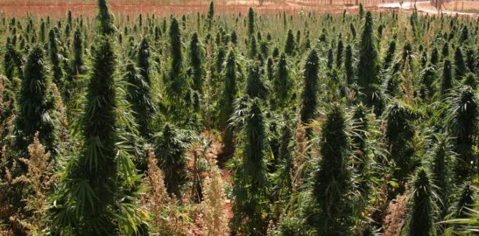 Cannabis strains explained