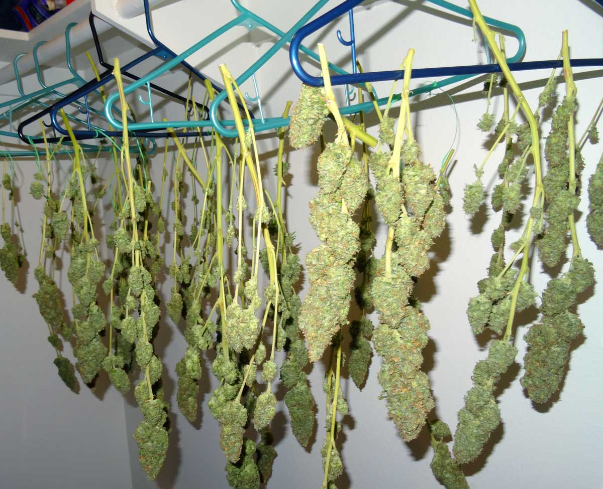 Cannabis Drying Technique & cannabis | Cannabis culture and Discussion